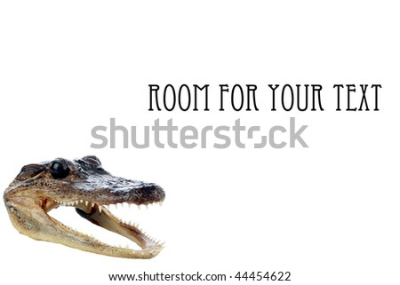 baby alligator or crocodile head isolated on white with room for your text - stock photo