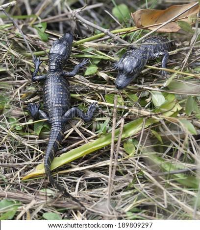 Baby Alligators In Florida Wetlands - stock photo