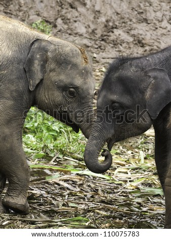 Baby Asian Elephants (Elephas maximus) at play in the jungle.  Coloration can vary significantly from black to reddish brown. - stock photo