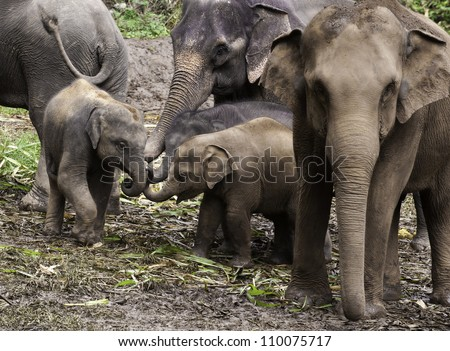 Baby Asian Elephants (Elephas maximus) put their trunks together in what appears to be an elephant version of a pinkie swear. - stock photo