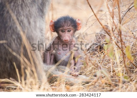 Baby baboon close to mother in long grass for safety - stock photo