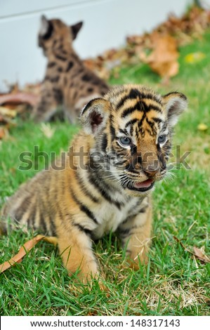 Baby bengal tiger and kitten are very similar. But baby bengal tiger  is a bigger than kitten. - stock photo