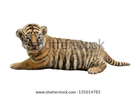 baby bengal tiger isolated on white background - stock photo