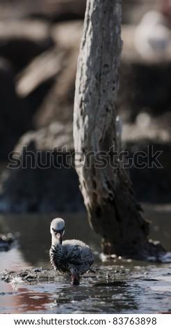 Baby bird of the Caribbean flamingo. A warm and fuzzy baby bird of the Caribbean flamingo at nests. - stock photo