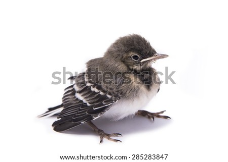 Baby bird sparrow isolated on white. - stock photo