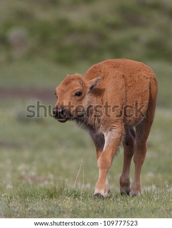 """Baby Bison (buffalo) a.k.a. """"Red Dog"""", in late spring / early summer, Lamar River Valley, Yellowstone National Park, Wyoming / Montana; bison calf - stock photo"""
