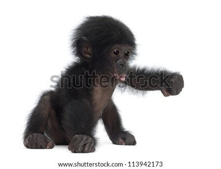 Baby bonobo, Pan paniscus, 4 months old, sitting against white background - stock photo