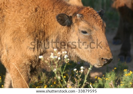 Baby Buffalo and Wildflowers - A Baby buffalo stand near her mom and checked out the local fauna. - stock photo