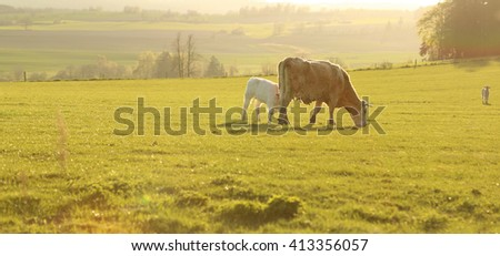 Baby calf and cow mother grazing in a farm field on a golden sunlight afternoon before sunset in rolling hills landscape - stock photo