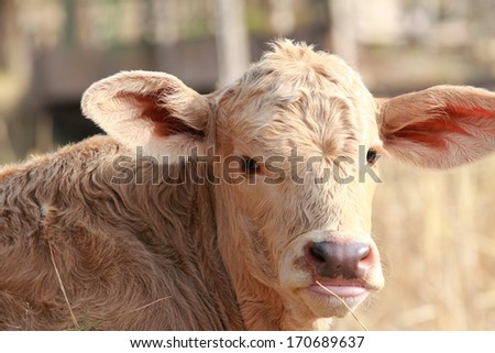 baby calf close-up - stock photo