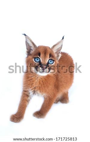 Baby Caracal Cat - stock photo