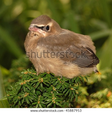 Baby Cedar Waxwing - stock photo