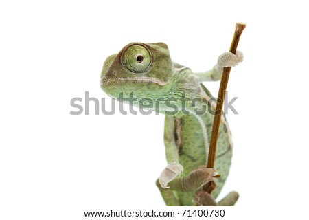 Baby chameleon looking into lens with one eye, macro focused on eyes - stock photo