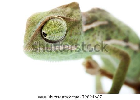 Baby chameleon posing in light tent, focused on eyes - stock photo