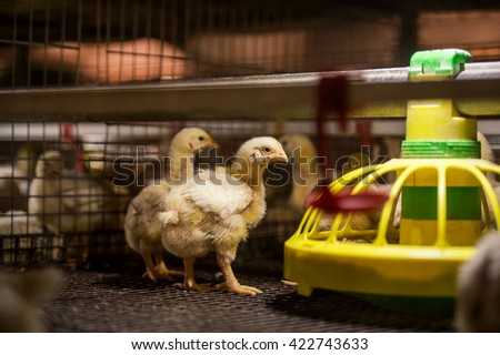 Baby chicken in poultry farm - stock photo