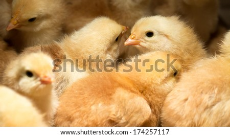 Baby Chicks Huddled Together for Safety and Warmth - stock photo