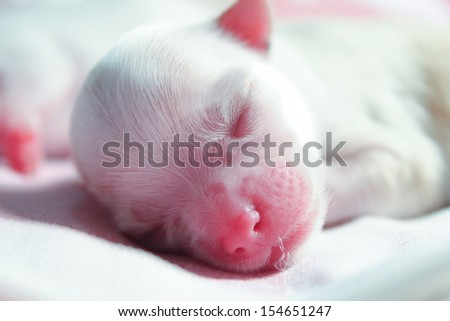 baby chihuahua, puppy in the bed - stock photo