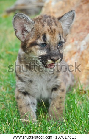 Baby cougars are born after about 91 days of gestation. - stock photo