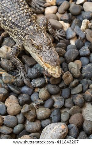 Baby crocodile on pebble - stock photo