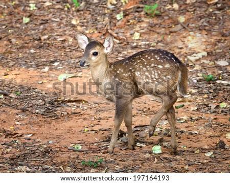 baby deer cute - stock photo