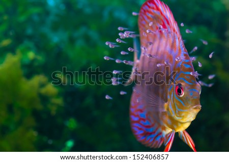 Baby discus fish swimming in freshwater. Discus fishes are native to the Amazon River. - stock photo