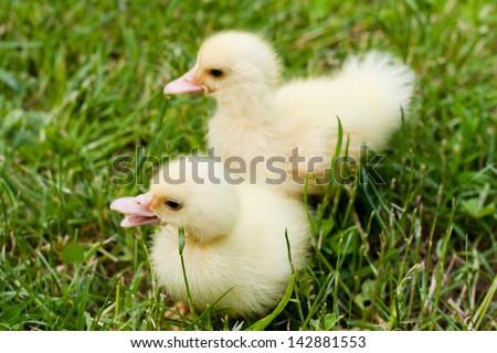 baby ducks in green grass  - stock photo