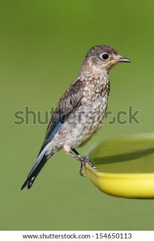 Baby Eastern Bluebird (Sialia sialis) on a birdbath with a green background - stock photo
