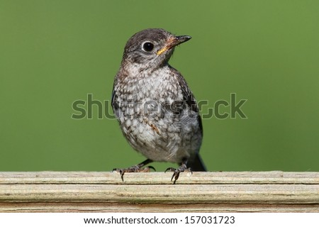 Baby Eastern Bluebird (Sialia sialis) on a fence with a green background - stock photo