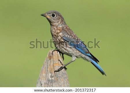 Baby Eastern Bluebird (Sialia sialis) on a fene - stock photo