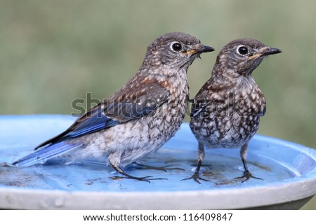 Baby Eastern Bluebirds (Sialia sialis) in a bird bath - stock photo