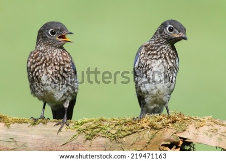 Baby Eastern Bluebirds (Sialia sialis) on a log with a green background - stock photo