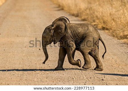 baby elephant crossing - stock photo
