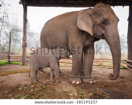 Baby elephant drinks milk from its mother in the stables of the elephant breeding centre on the edge of Bardia National Park, Nepal - stock photo
