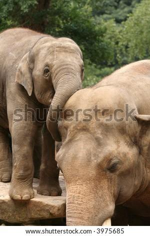 Baby elephant hugging his dad - stock photo