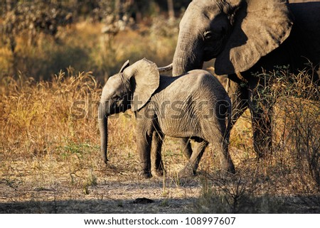 baby elephant in luangwa national park zambia - stock photo