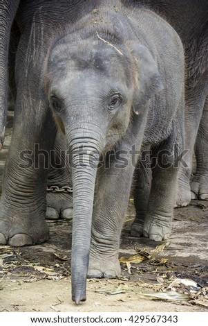 Baby elephant in Thailand - stock photo