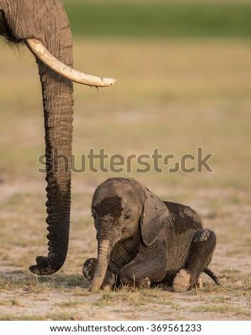 Baby Elephant lying down in Amboseli National Park, Kenya - stock photo