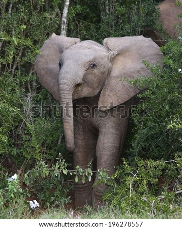 Baby elephant mock charging out of the African bush - stock photo