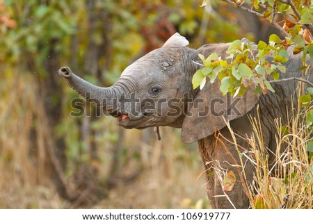 Baby elephant, South Africa - stock photo
