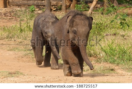 Baby elephants at the Udawalawe Elephant Transit Home and Information Centre Department of Wildlife Conservation Sri Lanka. - stock photo