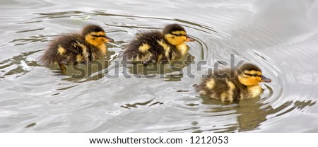 Baby Geese - stock photo