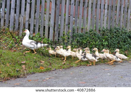 baby geese following the mother - stock photo