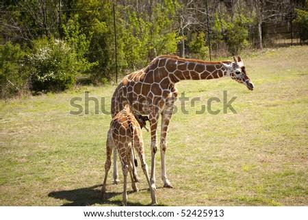 Baby Giraffe feeding by nursing his mother - stock photo