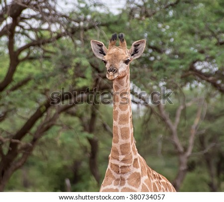 Baby Giraffe in the Northern Cape, South Africa - stock photo