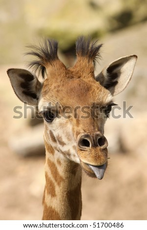 Baby giraffe sticking out its tongue - stock photo