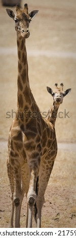 Baby Giraffe with cub close by - stock photo