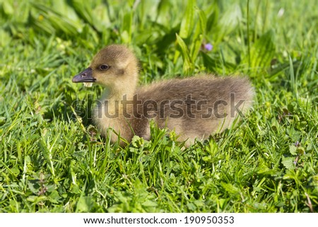Baby goose (gosling) in the grass - stock photo