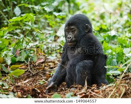 baby gorilla in wild on Uganda. Are endangered species. animal in nature. - stock photo