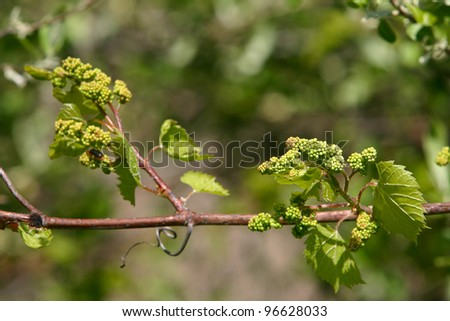 Baby Grapes VII - Shallow depth of field study of grapevines with baby grapes and flowers of a tree which supports the vines - stock photo
