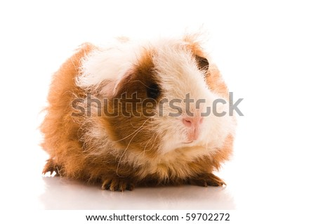 baby guinea pig. texel. isolated on the white - stock photo